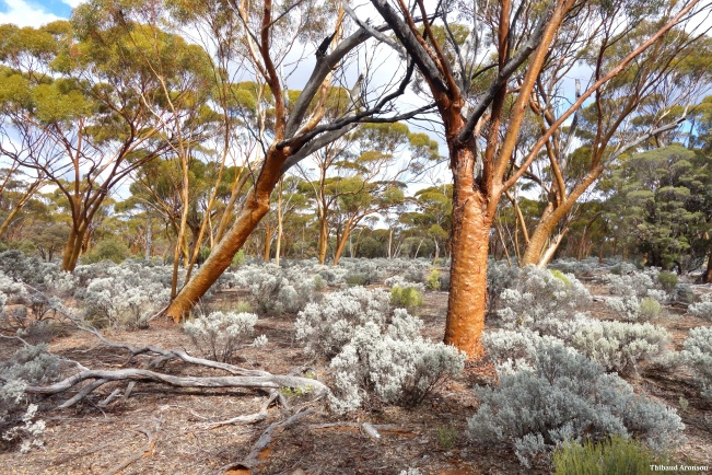 The gorgeous Great Western Woodlands, near Norseman, Western Australia.